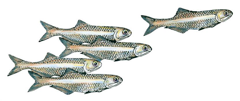 Bay Anchovy