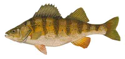 071-Yellow_Perch