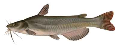 073-White_Catfish