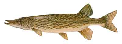 088-Chain_Pickerel